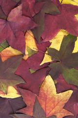 Large group multi colored of Autumn leaves.