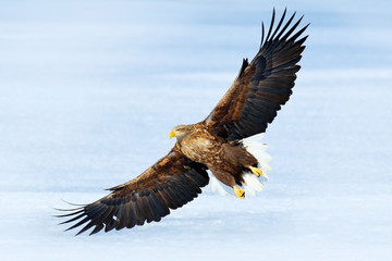 Winter scene with bird of prey. Big bird with snow. Flight White-tailed eagle, Haliaeetus albicilla,  on thy dark blue sky, with white tail, Japan. Action wildlife scene with ice. Eagle in fly.