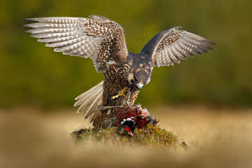 Peregrine falcon with catch Pheasant. Beautiful bird of prey Peregrine Falcon feeding kill big bird on the green moss rock with dark forest in background. Action wildlife feeding scene from nature.