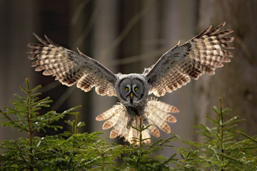 Action scene from the forest with owl. Flying Great Grey Owl, Strix nebulosa, above green spruce tree with orange dark forest background. Wildlife in Sweden. Bird in fly with open wing.