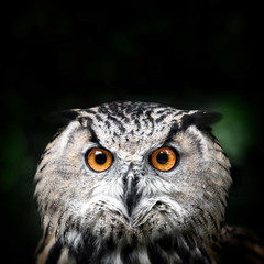 Owl Portrait. owl eyes