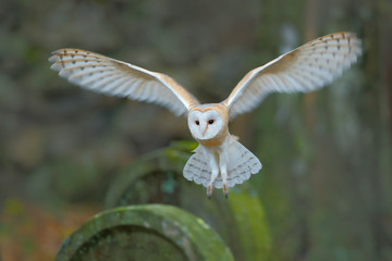 Barn owl with nice wings landing on headstone. Owl in the habitat. Action wildlife scene from Europe. Flying bird in the forest. Owl in fly above headstone. Animal from Czech Republic.