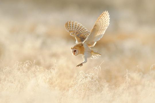 Owl flight. Hunting Barn Owl, wild bird in morning nice light. Beautiful animal in the nature habitat. Owl landing in the grass. Action wildlife scene with owl, United Kingdom. Nice low light.