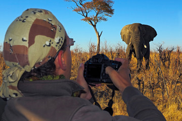 Elephant attack Photographer on Safari in Botswana. Dangerous wildlife scene in Africa. Big animal with passionate photographer. Man with big camera taking picture of elephant.