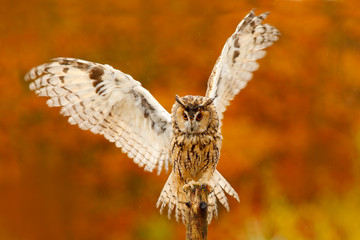 Owl with open wings. Owl in orange autumn leaves forest. Long-eared Owl with orange oak leaves during autumn. Bird in the nature habitat. Fall orange forest with wild owl. Cute bird in the nature.