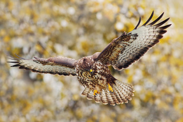 Action scene from nature. Bird of prey Common Buzzard, Buteo buteo, in fly with snow. Snowy day with bird during autumn with yellow trees. Flying bird of prey. Bird in snowy forest with open wings.