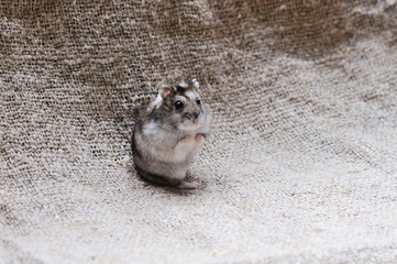 small and cute hamster