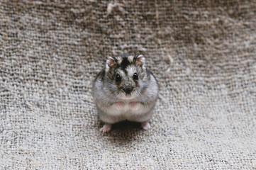 Jungar hamster sitting on his hind legs