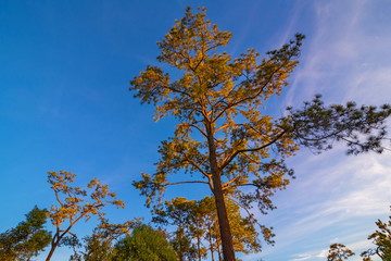 Pine green forest background in a sunny day.