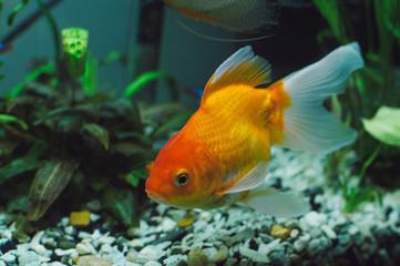 Aquarium fish - goldfish