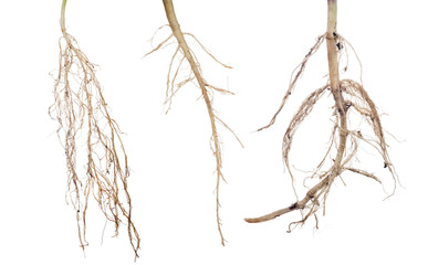 three plant roots collection on white