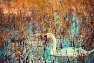 zwaan zwemmen in het meer