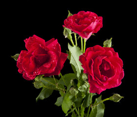 red roses in drops of water
