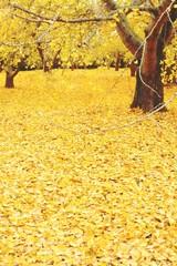 イチョウの木と落ち葉
