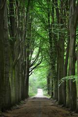 Walkway in a green Spring beech forest in Leuven, Belgium