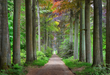 Walkway in a green Spring beech forest in Leuven, Belgium