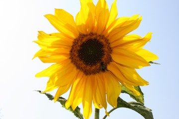 Sunflower blooming alone on white and blue sunny background
