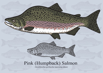 Pink Salmon, Humpback Salmon (Spawning phase). Vector illustration for artwork in small sizes. Suitable for graphic and packaging design, educational examples, web, etc.