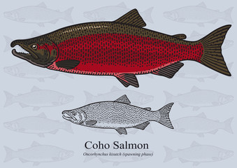 Coho Salmon (Spawning phase). Vector illustration for artwork in small sizes. Suitable for graphic and packaging design, educational examples, web, etc.