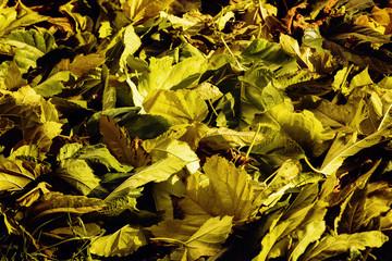 fallen leaves in autumn walk