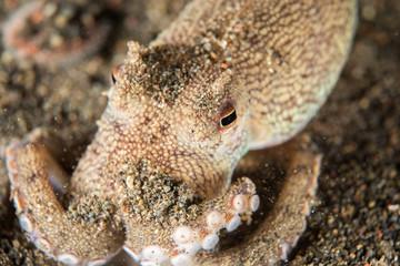 coconut octopus underwater portrait hiding in sand