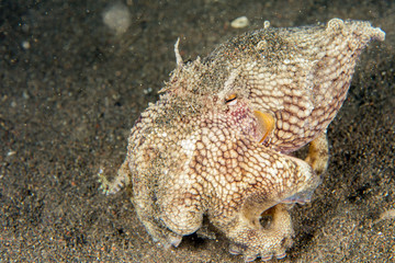 coconut octopus underwater portrait hiding in sand