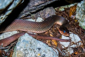 Nestled Snake