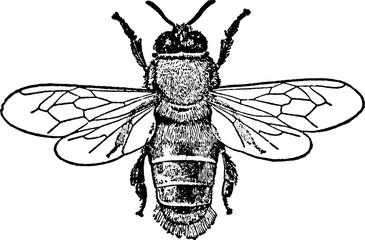 Vintage image bee