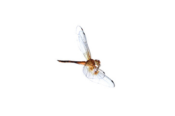Dead dragonfly on white background