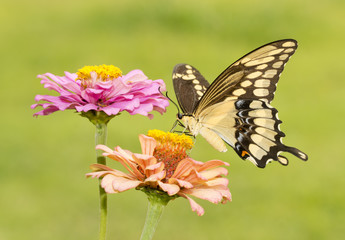 Giant Swallowtail butterfly feeding on a light orange Zinnia in summer garden