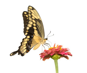 papilio Cresphontes, Giant Swallowtail butterfly feeding on a pink Zinnia - isolated on white