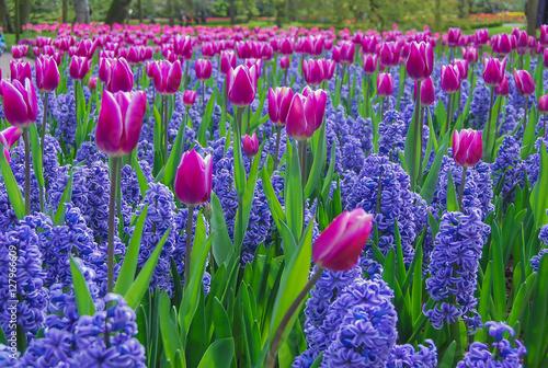 Tulipanes rosas y jacintos azules en los jardines de keukenhof en holanda stock photo and - Jardines de tulipanes en holanda ...