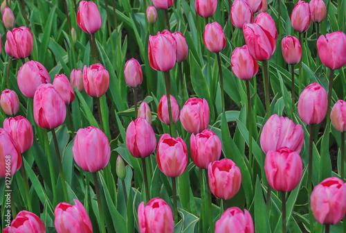 Tulipanes rosas en los jardines de keukenhof en holanda stock photo and royalty free images on - Jardines de tulipanes en holanda ...