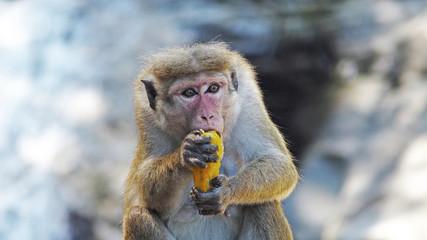 toque macaque eating a mango