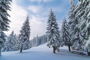 Fototapete - Winter landscape with fir trees in the mountain forest