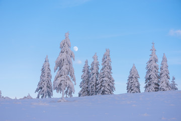 Wall Mural - Winter landscape with fir trees in the snow and a beautiful moon