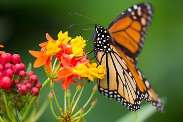 Monarch ganz nah