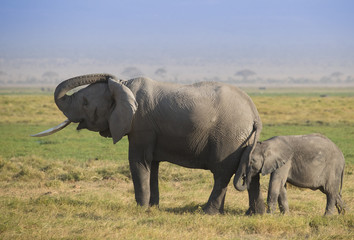 Elephants family on the african savannah