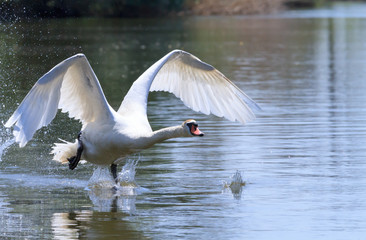 White Swan on the rise.