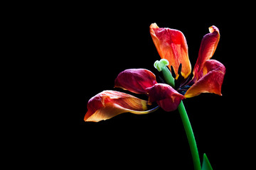 Red tulip, artistic image of droopy flower, floral motif wallpaper
