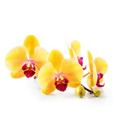 Yellow orchid flowers on white