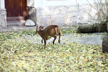 Chinese muntjac baby deer back