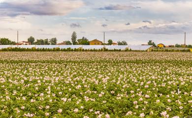 flowers of potato fields
