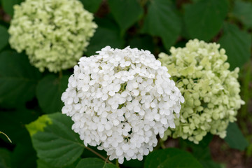 Smooth hydrangea,anabelle