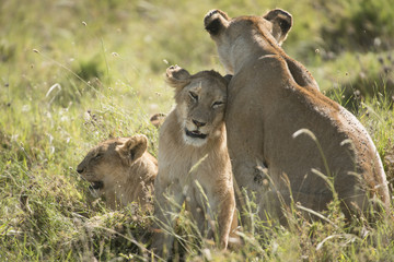 Affectionate Lion Family