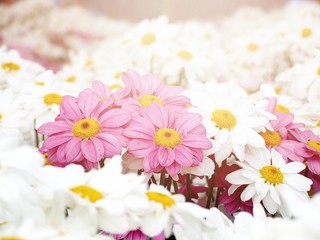 Leadership, difference or business concept : Pink Chrysanthemum flowers among white Chrysanthemum flowers