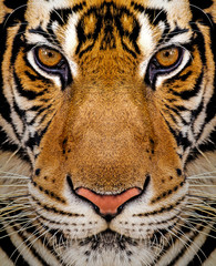 Tiger portrait, Closeup shot