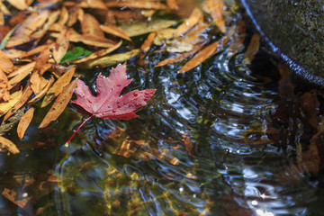 Red maple leaf in the fountain water with water waves.