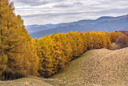 Large forest of European larix (Larix decidua) on top of the mountain in beautiful autumnal colors.