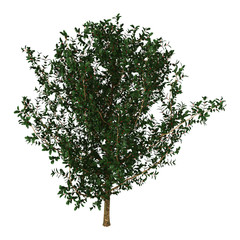 3D Rendering Holly Bush on White